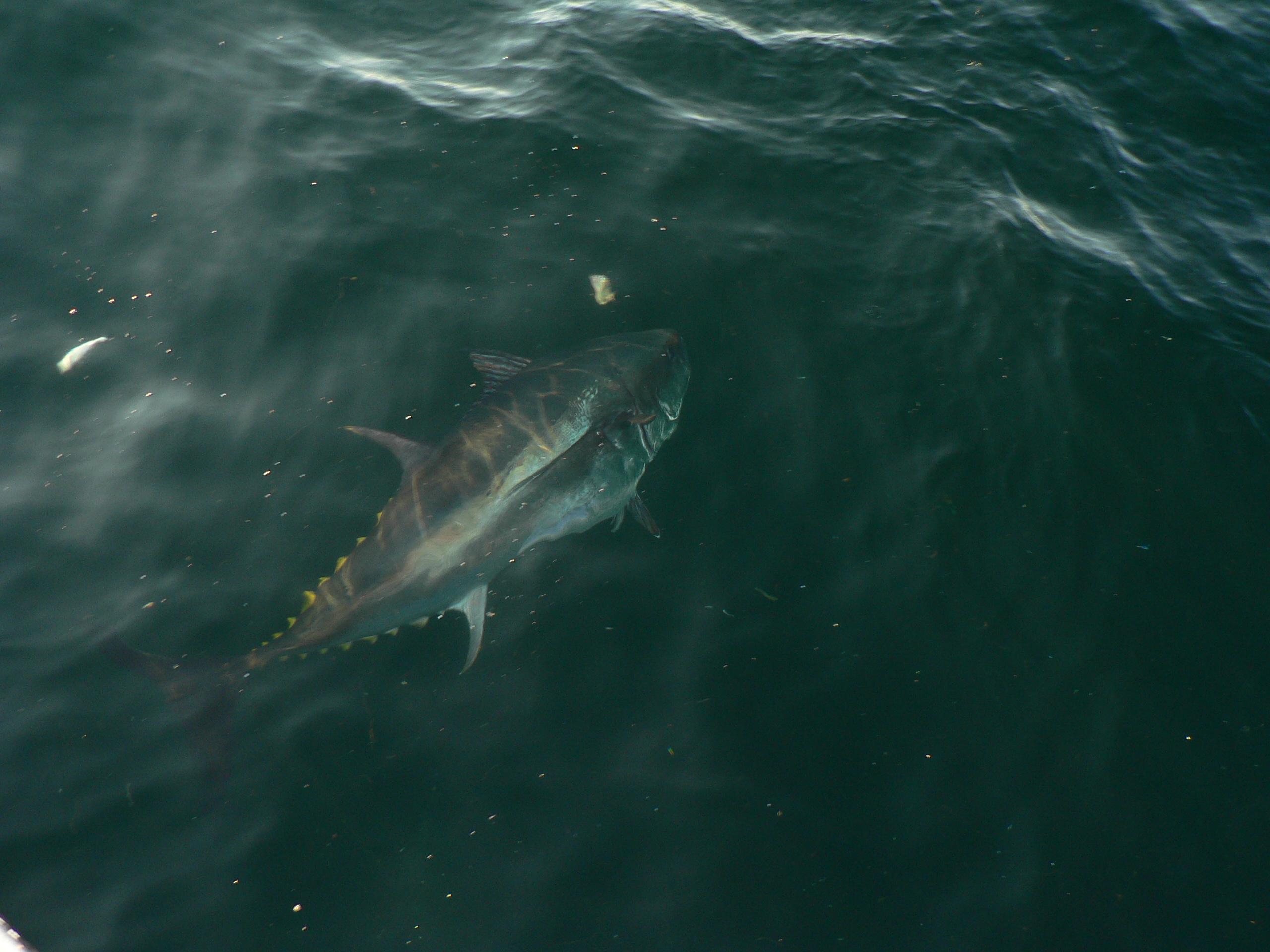 Tuna fishing day three oct 7 2014 125 macinnis bluefin for Bluefin tuna fishing